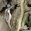 Grimpereau des bois - Certhia familiaris (5)