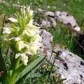 Orchidée sureau forme jaune