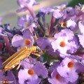 Lepture doré - Cosmosalia chrysocoma