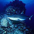 Le sixième sens des requins
