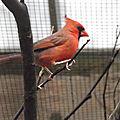 Le <b>Cardinal</b> rouge
