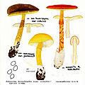 Amanita hemibapha IH 1987 29