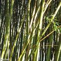 Graphisme des bambous