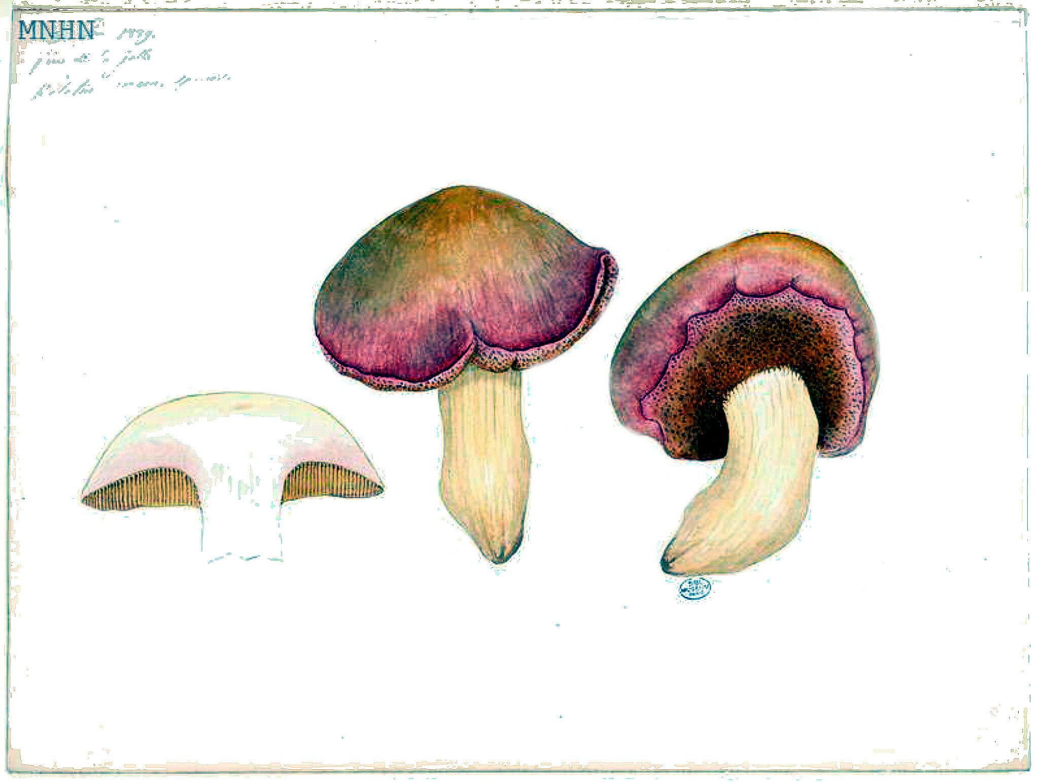 26 Boletus roseus sp nov b