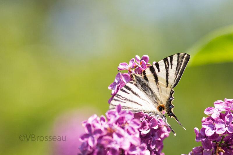 papillon-flambé03