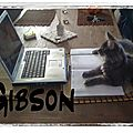 GIBSON MAINE COON