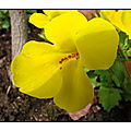 La plante du dimanche : le <b>mimulus</b>