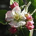 Fleurs_de_pommier