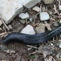 2008 05 12 Un limace noir