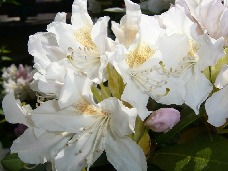 Rhododendron 05-2013