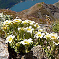 saxifrage fausse-mousse