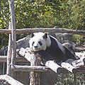 Pandi Panda au Zoo-Parc <b>Beauval</b> St Aignan/Cher
