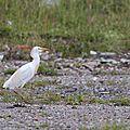 Héron garde-boeufs (Bubulcus ibis)