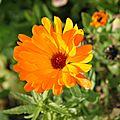 La plante de la quinzaine : le calendula officinalis