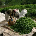 La culture du thé dans le monde