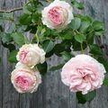 Roses Pierre de Ronsard