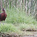 Ibis falcinelle - Andalousie