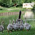 Maman oie et ses petits