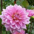 2008 09 26 Une fleur de dahlias rose