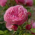 La rose <b>Léonard</b> de Vinci