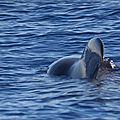 Sortie <b>baleines</b> (8)