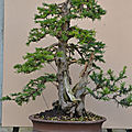 Taxus baccata #23 Evolution