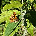 Robert-le-Diable (Polygonia c-album), sur buddleia.
