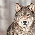 Qui a peur du loup?