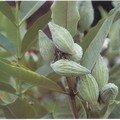 perruches..Asclépia cornuti..été 06