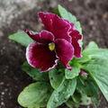 2009 06 14 Une fleur de pensée