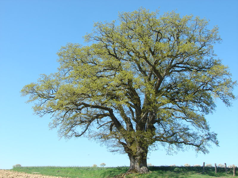 DSC01601 Chêne de Bainville aux Saules