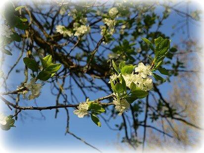 fleur prunier é