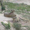 2003-03-22 Les guépards