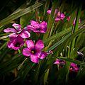 L'herbier : l oxalis articulée