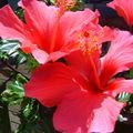 ibiscus rose foncé