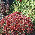 chrysanthemum morifolium red