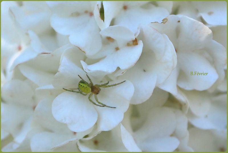 Araignée courge ou épeire concombre (Araniella cucurbitina)