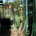 Euphorbia milii v. vulcanii