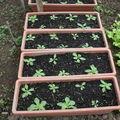 2009 05 09 Mes pétunias en jardinière sous serre