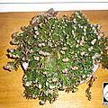 Plante de la résurrection - selaginella lepidophylla