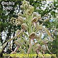 Himantoglossum hircinum - comp