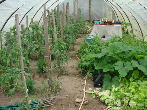 2008 06 15 Sous la serre, les légumes