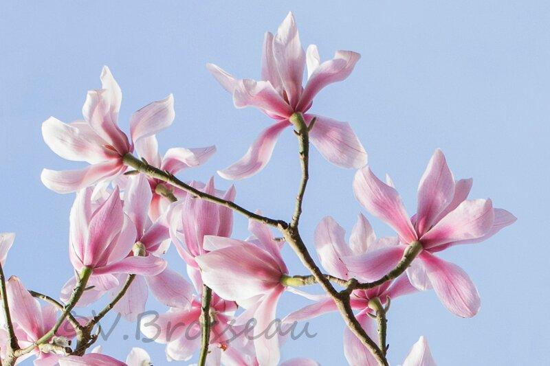 magnolia14-06