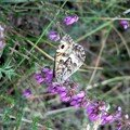 papillon en Bretagne