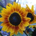 2008 09 29 Une fleur de beauté d'automne