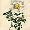 Curtis 1811 Rosa Bracteata