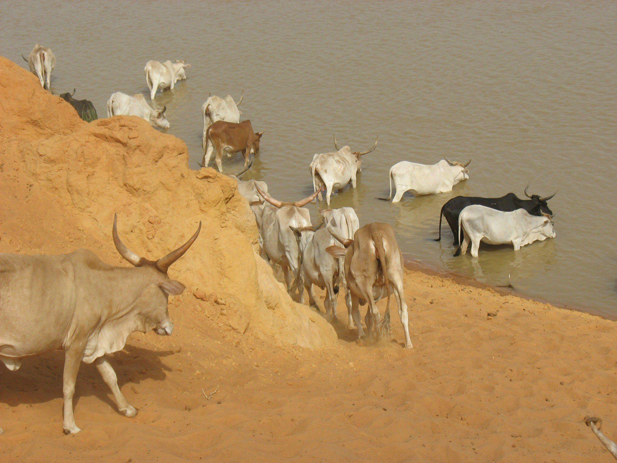 Les bêtes en direction du fleuve Sénégal