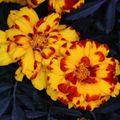 2009 07 21 Deux fleurs d'oeillet d'Inde