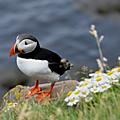 Vacances islandaises ... la faune.