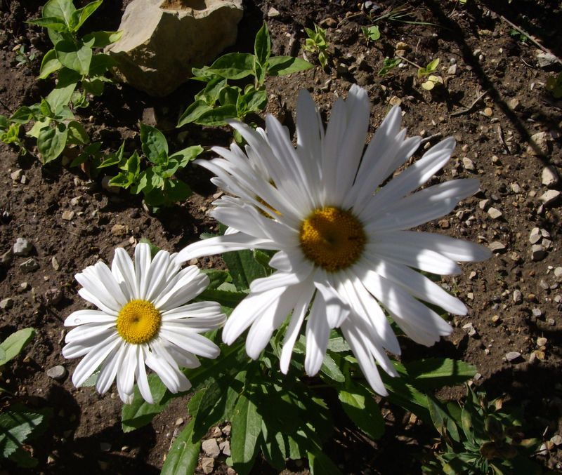marguerites 2 - Copie